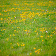Field of dandelions. Meadow. — Stock Photo