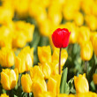 Yellow tulips and one red standing out of the crowd. — Stock Photo #14285569