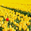 Stock Photo: Yellow tulips and one red standing out of the crowd.
