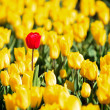 Yellow tulips and one red standing out of the crowd. — Stock Photo #14285585