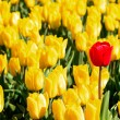 Yellow tulips and one red standing out of crowd. — Stock Photo #14285623