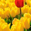 Yellow tulips and one red standing out of the crowd. — Stock Photo