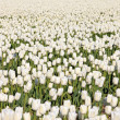 Field of white tulips. — Stock Photo