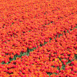 Field of red tulips. Abstract background. — Stock Photo