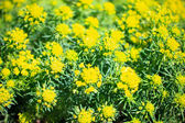Yellow flowers foliage background. — Stock Photo