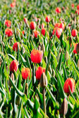 Red tulips with green leafs. — Stock Photo