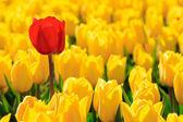 Tulips amarelos e um vermelho de pé no meio da multidão. — Foto Stock
