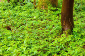 Forest tree trunk with green foliage in spring after rain. — Stock Photo