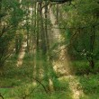 Forest with mist rays. — Stock Photo #14337141