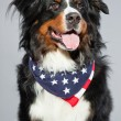 Berner sennen dog. — Stock Photo