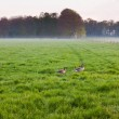 Meadow with grazing geese in the mist at sunset. — Stock Photo