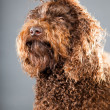 Barbet dog. — Stock Photo