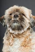 Shih tzu dog on dark grey background. — Stock Photo