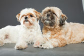 Two shih tzu dogs on grey background. — Stock Photo