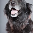 Stock Photo: Old flatcoated retriever dog.