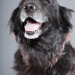Old flatcoated retriever dog. - Stock Photo