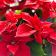 Stock Photo: Red christmas star flowers.