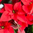 Red christmas star flowers. — Stok fotoğraf