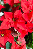 Red christmas star flowers. — Stock Photo