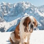 Постер, плакат: Big sint bernard dog in snow mountain landscape
