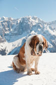 Big sint bernard dog in snow mountain landscape. — Stock Photo