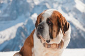 Big sint bernard dog in snow mountain landscape. — Stock Photo