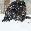 Mixed breed black dog in the snow. Labrador and Berner Sennen. - Zdjęcie stockowe
