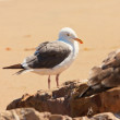 Seagull on the beach. Standing on rock. — Stock Photo