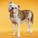 Mixed breed american and old english bulldog. Studio shot. — Stock Photo