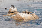 Cormoranes sentado sobre una roca en el océano. california. estados unidos. — Foto de Stock