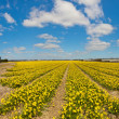 Panorama of field of yellow daffodils with blue cloudy sky. The — Stock Photo #24332371