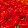 Close-up of red tulips in spring garden. Keukenhof. Lisse. — Stock Photo