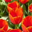 Close-up of red tulips in spring. Top view. — Stock Photo #25343647