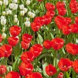 Red and white tulips together in a field. Spring. — Stock Photo #25343651
