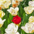 Royalty-Free Stock Photo: White tulips with one red standing out.