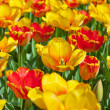 Field of yellow and red tulips in spring. — Stock Photo #25343755