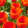 Close-up of red tulips in spring. Top view. — Stock Photo