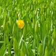 Closed tulips with one yellow bloom standing out. — Stock Photo #25343771