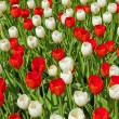 Red and white tulips in spring. — Stock Photo