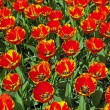 Red yellow tulips in spring. Top view. Keukenhof. Lisse. — Stock Photo #25343857