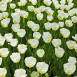 Field of white tulips in spring. Top view. — Stock Photo #25343871