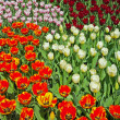 Tulips with different colors in spring garden. Keukenhof. Lisse. — Stock Photo