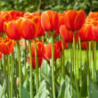 Red tulips in spring. — Stock Photo