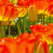 Red tulips in bloom with one closed standing out. Keukenhof. Lis — Stock Photo #25344105