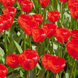 Red tulips in spring. Top view. — Stock Photo #25344127