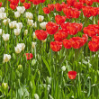 Red and white tulips together in a field. Spring. — Stockfoto