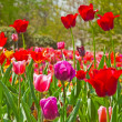Spring garden with colorful tulip flowers. Keukenhof. Lisse. — Stock Photo