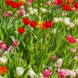 Tulips of different colors in spring. — Stock Photo