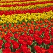 Red and yellow tulips in spring garden. Keukenhof. Lisse. — Stock Photo