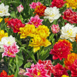 Diverse colorful flowers in spring garden. Keukenhof. Lisse. — Stock Photo